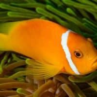 Maldivesfish